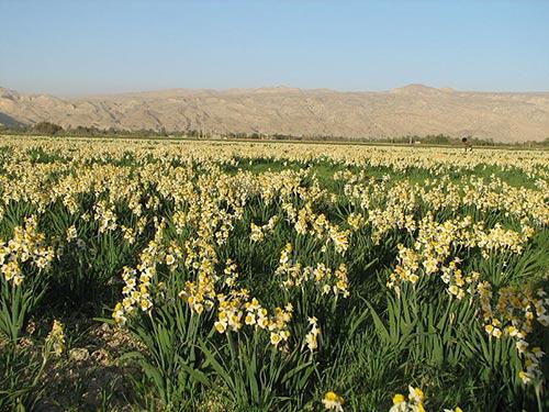 طرح احیای مزارع گل نرگس در بهبهان در زمان مدیریت سید محمدرضا حسنی صورت پذیرفت