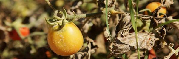 گوجه فرنگی سم زده در بهبهان