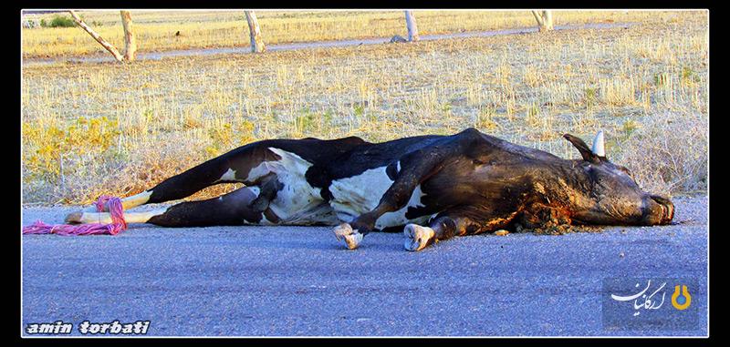 مردار حیوانات در جاده های بهبهان